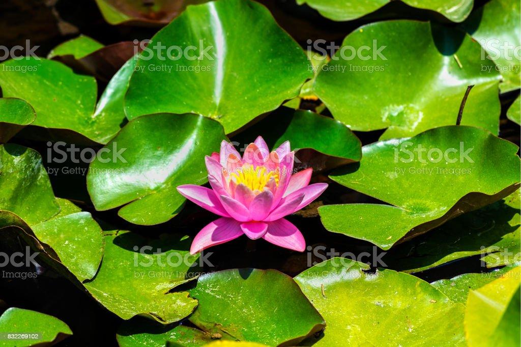 Pink Lotus (Nelumbo nucifera) blossom and leaves in lake stock photo