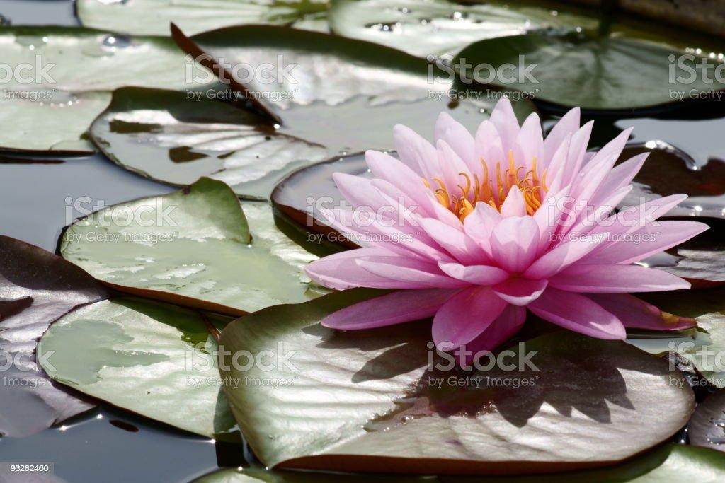 Pink lotus blossom royalty-free stock photo