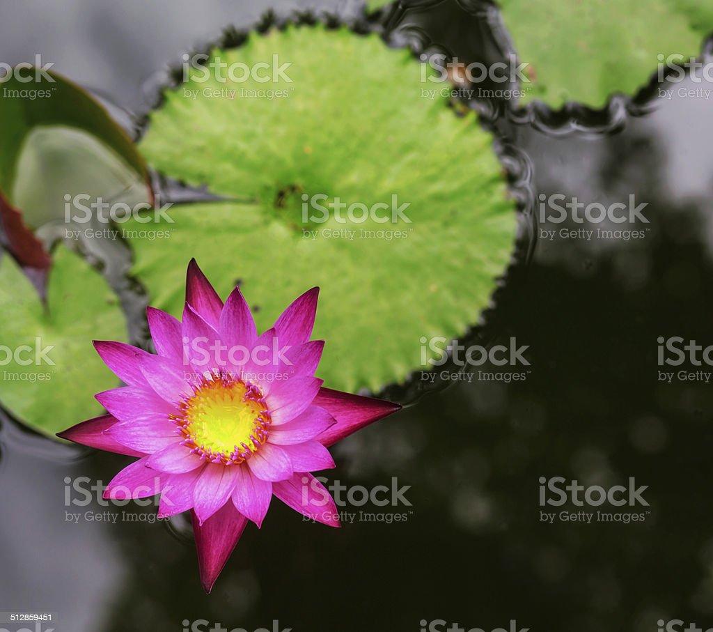 Rosa Blüten oder lotus water lily Blumen erblühen auf den Teich Lizenzfreies stock-foto