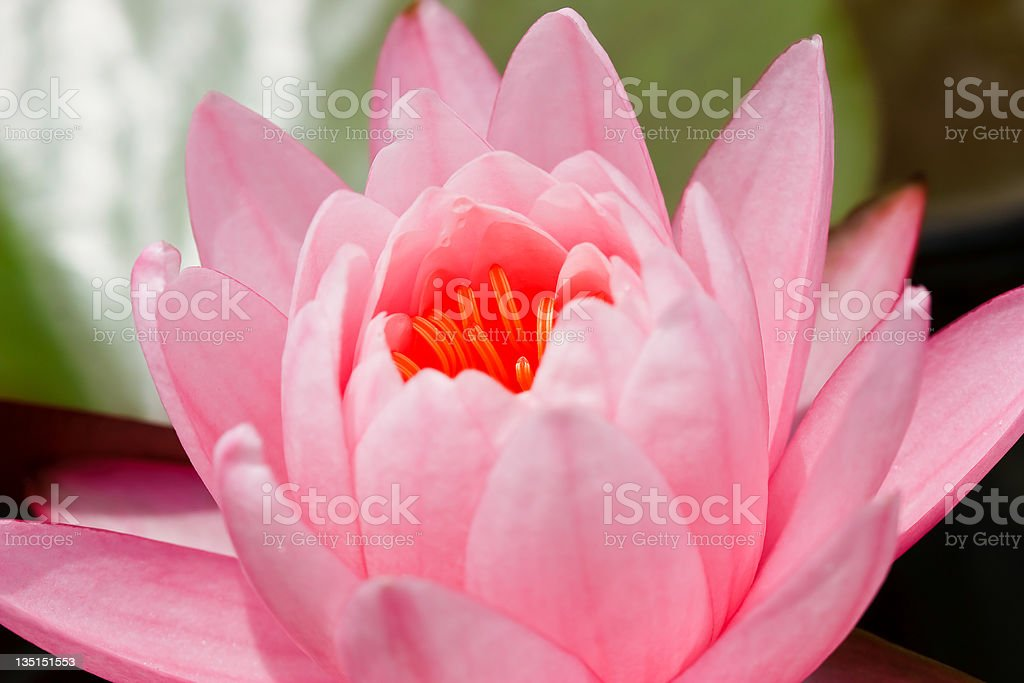 pink lotus flower blooming at thailand royalty-free stock photo