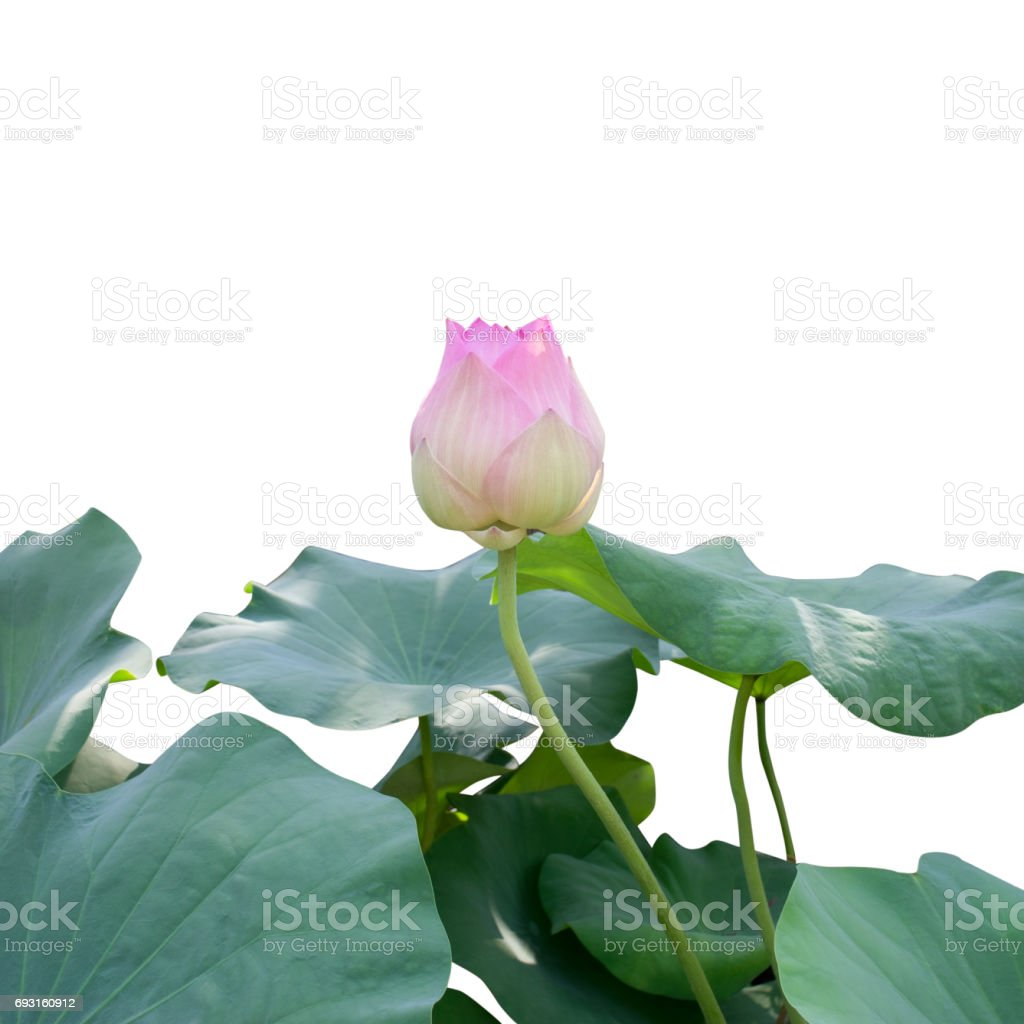 Pink lotus flower bud with green leaves stock photo