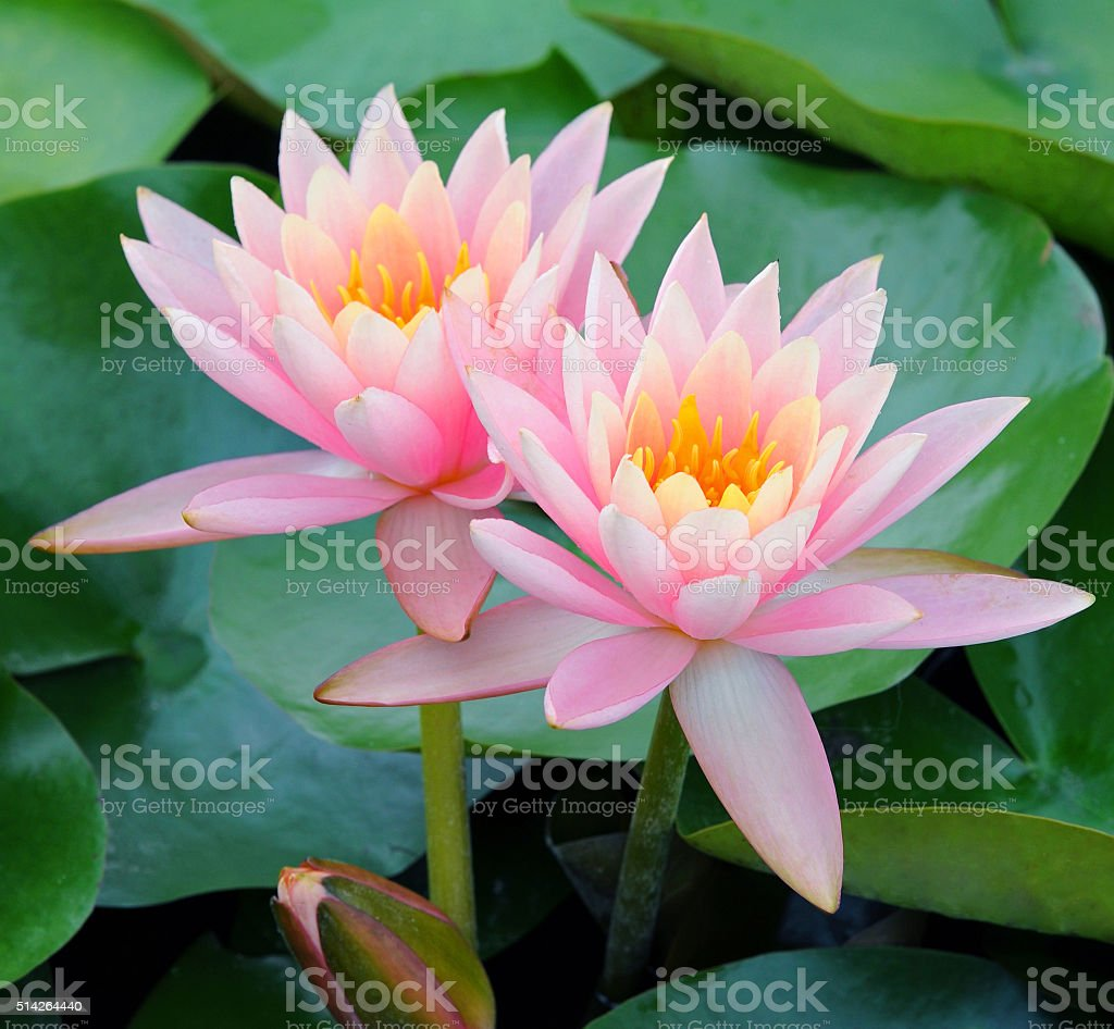 Pink lotus flower closeup stock photo