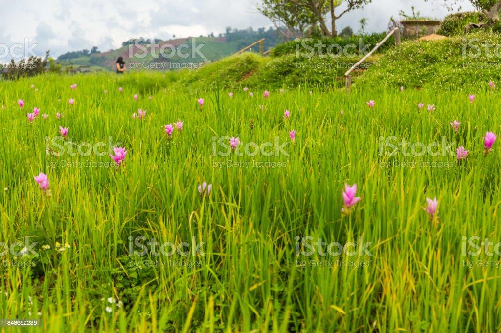 Pink lotus flower garden in Mon Chaem, Chiang Mai, Thailand stock photo