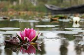 Pink Lotus Flower in Lake