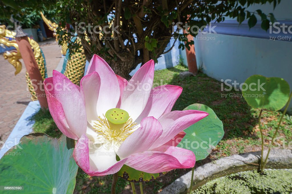 Pink lotus flower in pond stock photo