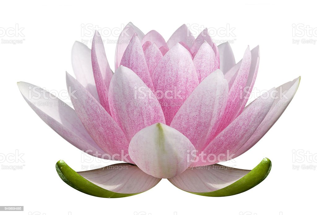 A pink lotus flower on a white background stock photo