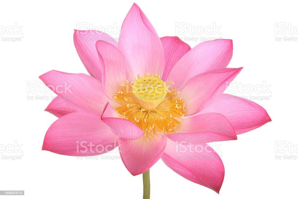 Pink lotus flower on white background royalty-free stock photo