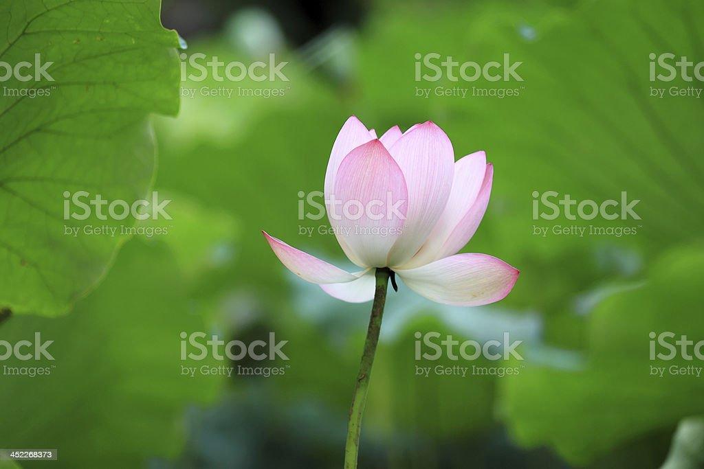 pink lotus flower royalty-free stock photo