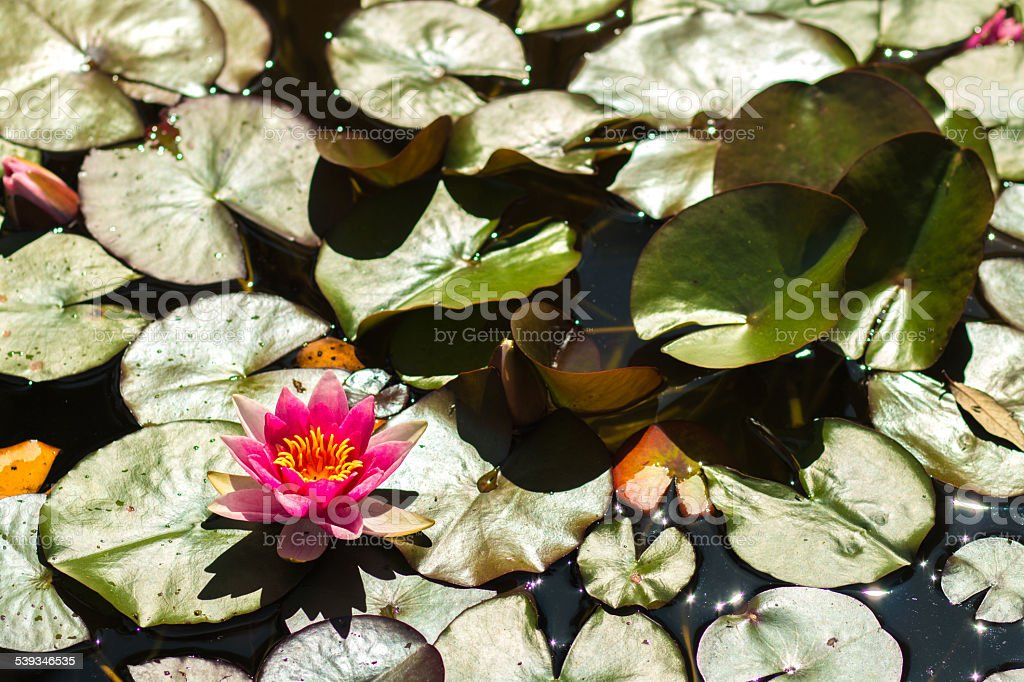 Pink lotus flower water lily stock photo