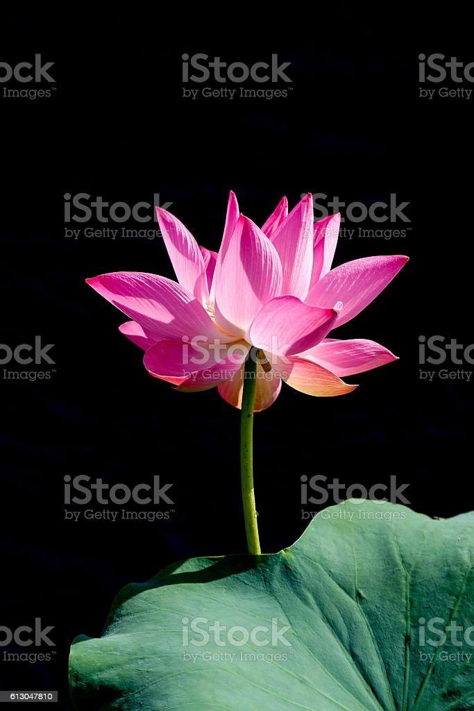 Pink Lotus in black background royalty-free stock photo
