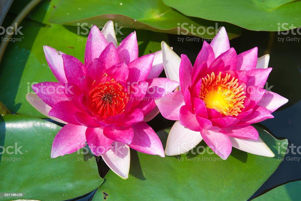 Pink lotus in lagoon royalty-free stock photo