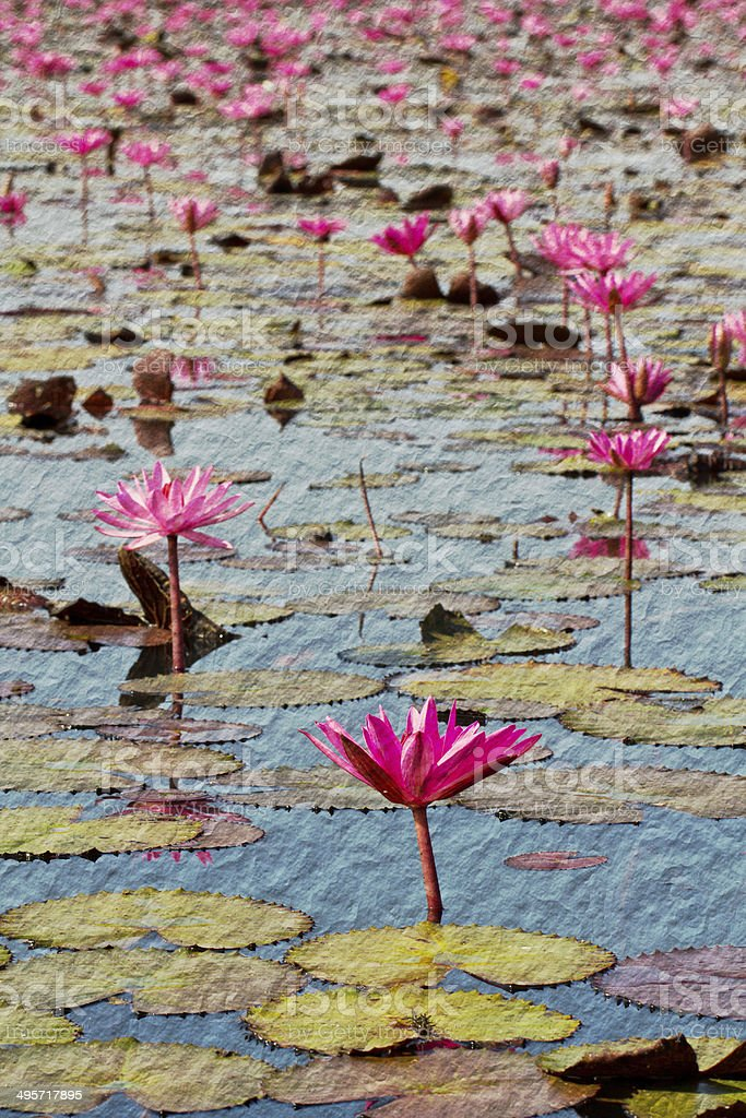 Pink lotus in lake at Udon thanee royalty-free stock photo