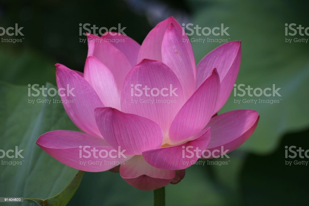 Pink lotus in  pond stock photo