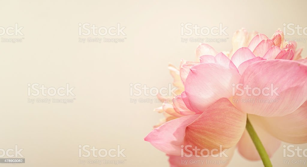 pink lotus in soft color and blur style stock photo