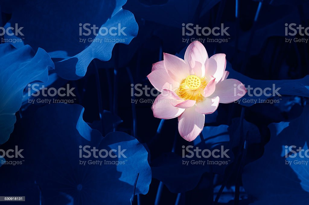 Pink lotus in the pond stock photo