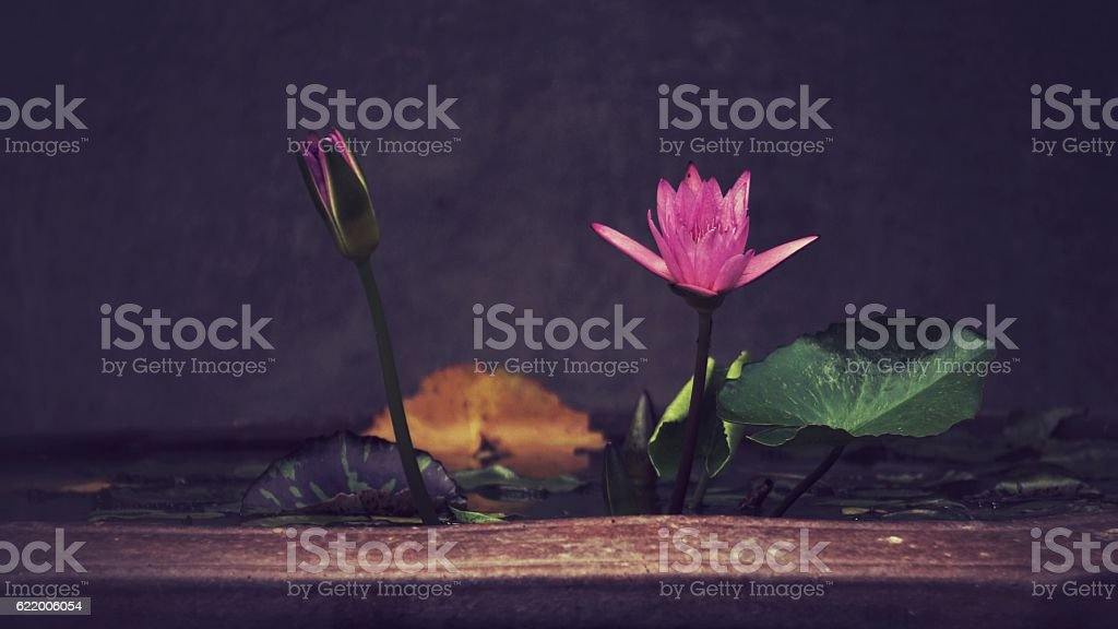 Pink lotus in the pot royalty-free stock photo
