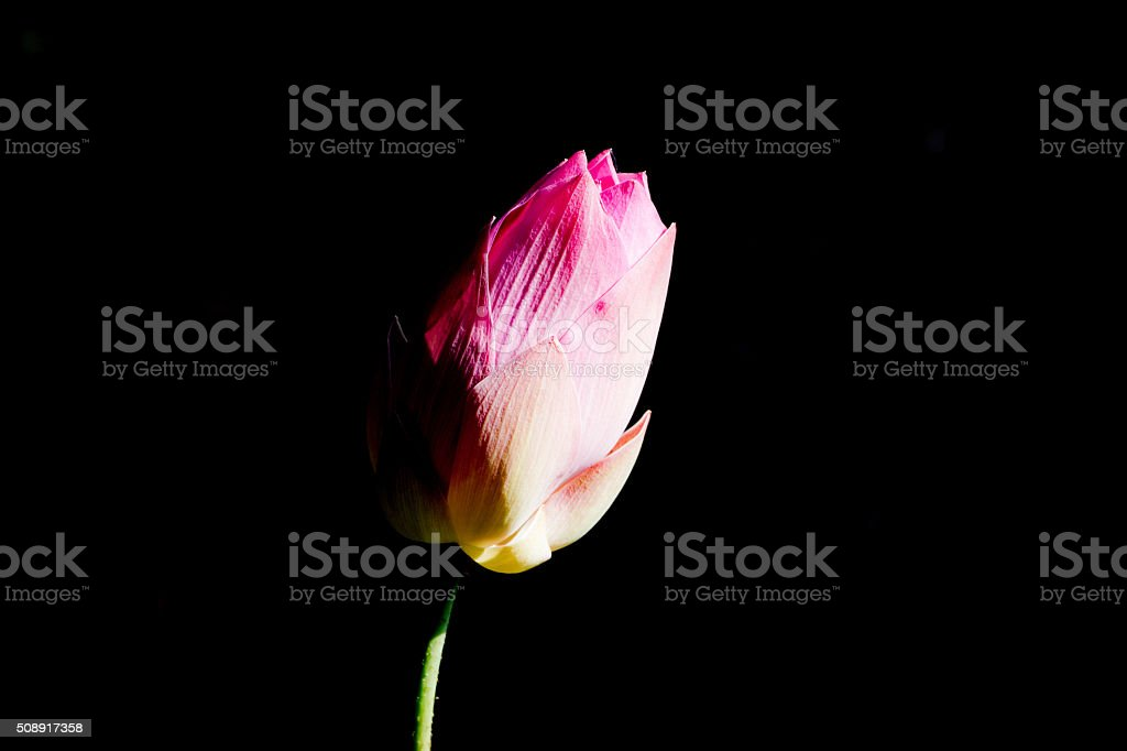 Pink lotus isolated on black background. [Clipping Path] stock photo