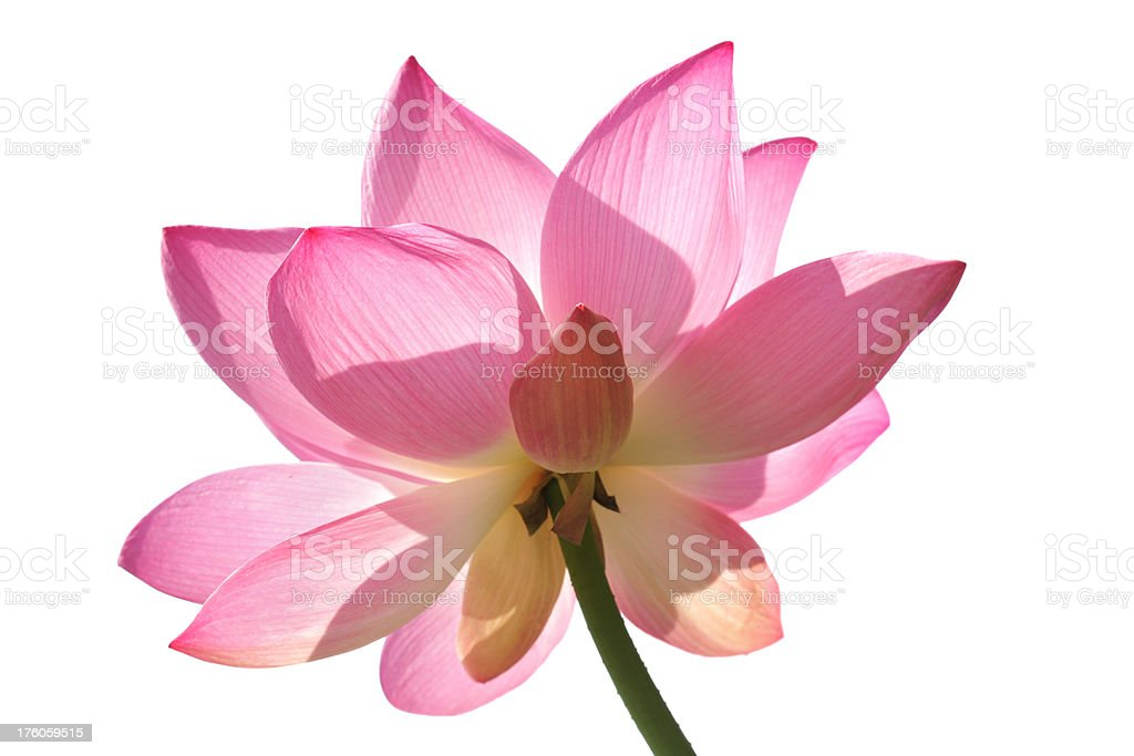 Pink lotus - larges collection click royalty-free stock photo