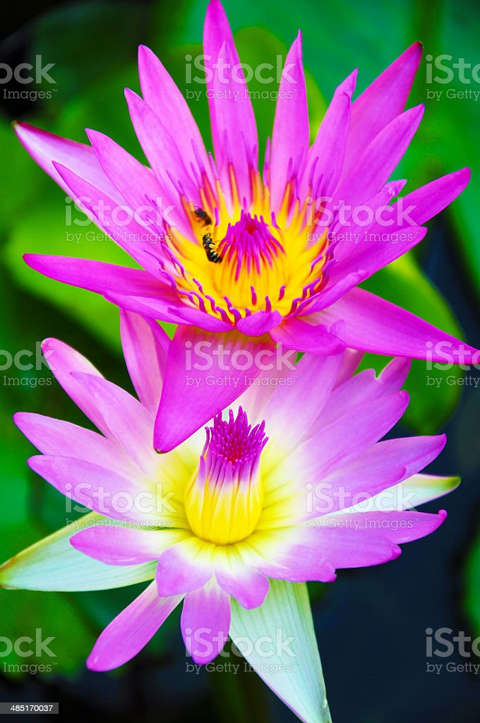 Pink lotus on the poond. stock photo