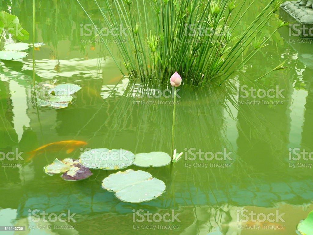 Pink Lotus or Lotus stem stock photo