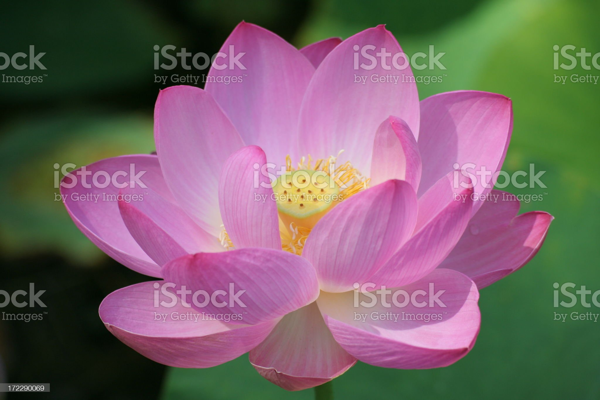 Pink lotus - others in my gallery royalty-free stock photo