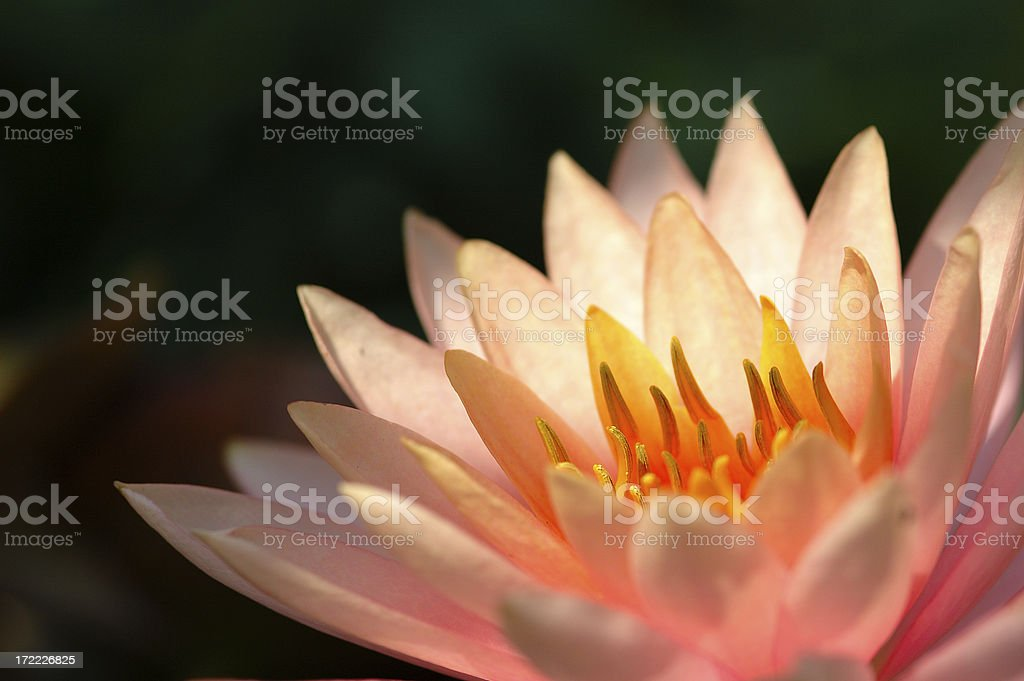 Pink lotus royalty-free stock photo