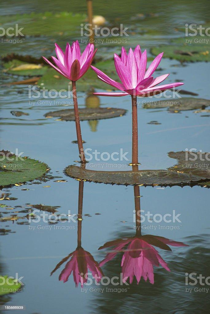 pink lotus stock photo