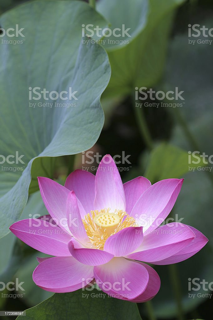 pink lotus under green leaves royalty-free stock photo