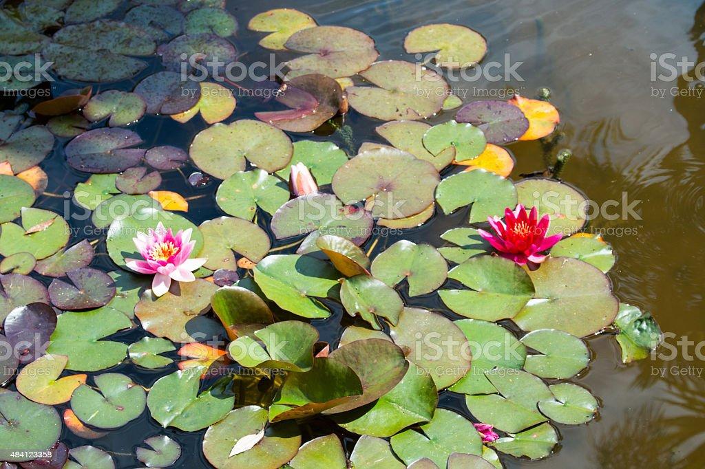 pink lotus - Water Lily stock photo