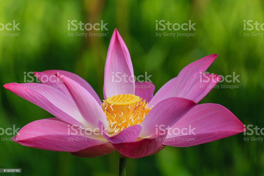 Pink Lotus with Green Field stock photo