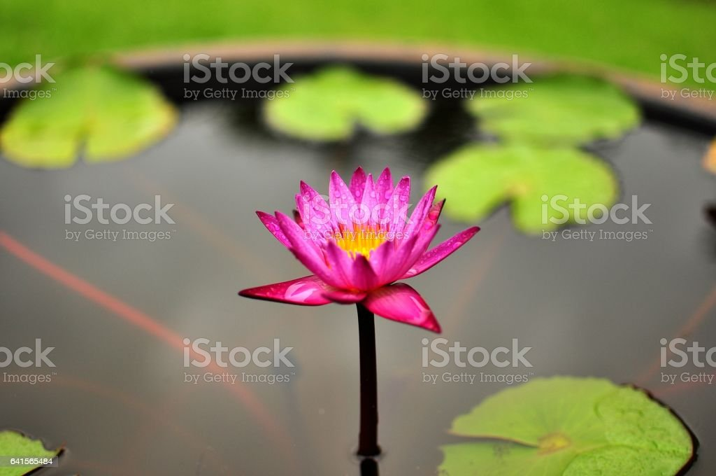 A pink lotus with raindrops stock photo