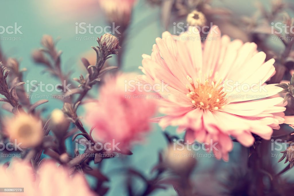 pink lovely autumn aster stock photo