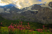 Pink lupine Wildflowers and Jungfrau and Monch massif: Swiss Alps