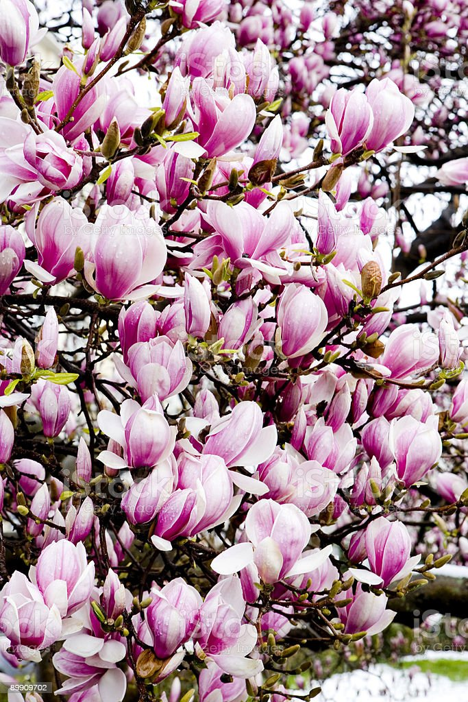Pink Magnolia Blooms royalty-free stock photo