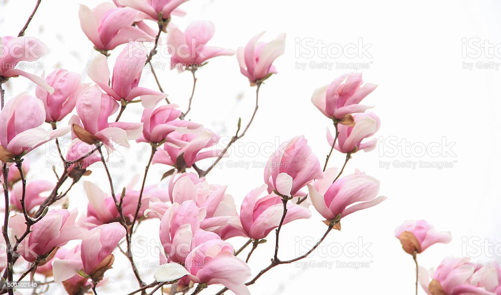 Pink magnolia blossom on white background stock photo