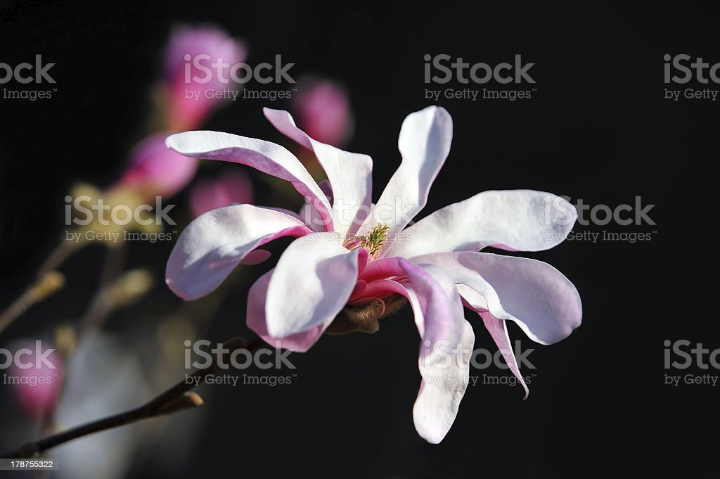 Pink magnolia blossom royalty-free stock photo