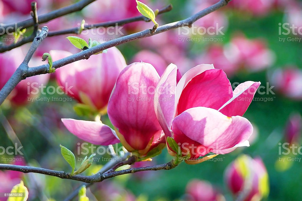 Pink magnolia blossom stock photo