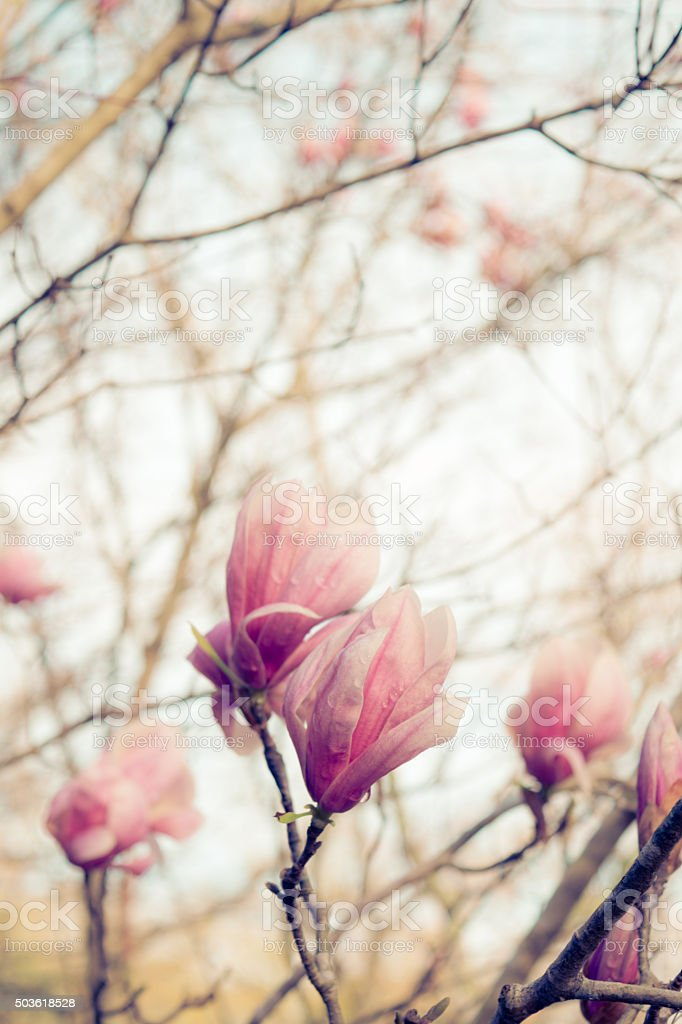 Pink Magnolia Blossoms on tree in spring stock photo