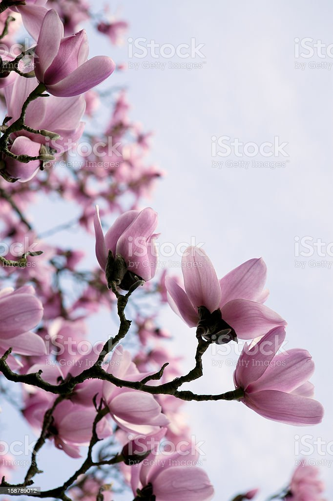 pink magnolia blossoms stock photo