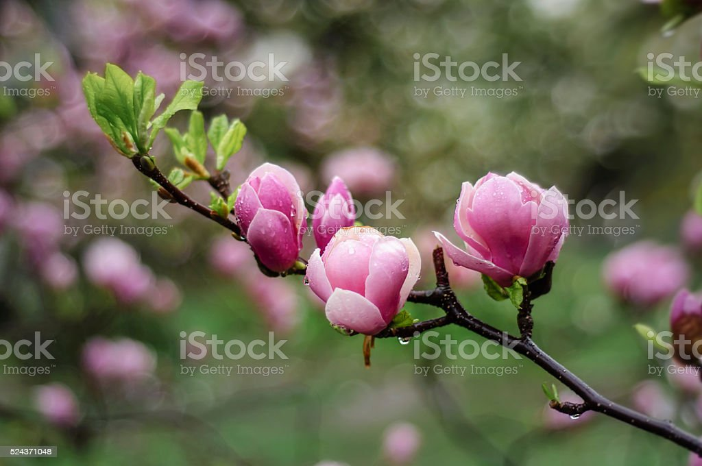 Pink magnolia branch stock photo
