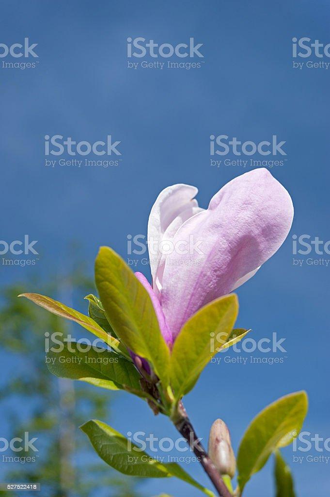 Magnolie Blume auf Himmel Hintergrund Lizenzfreies stock-foto