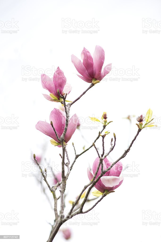 Pink magnolia flowers isolated on white background stock photo
