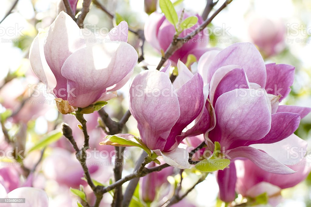 Pink magnolia flowers on a branch royalty-free stock photo