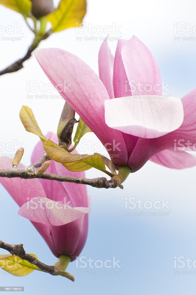 Pink Magnolia Flowers stock photo