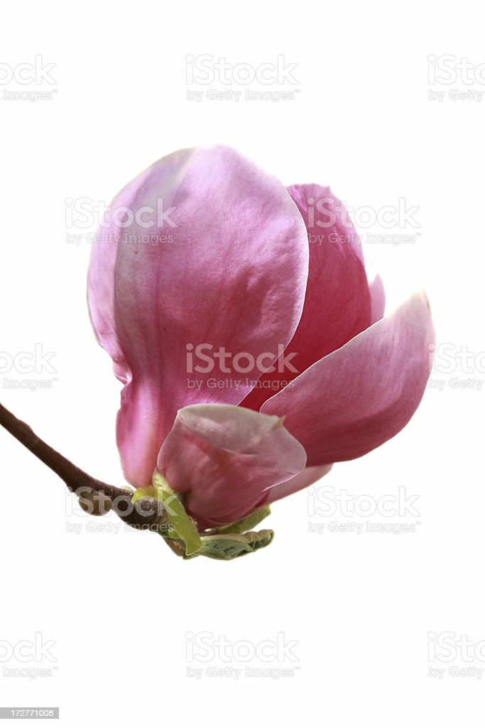 pink magnolia isolated over white royalty-free stock photo