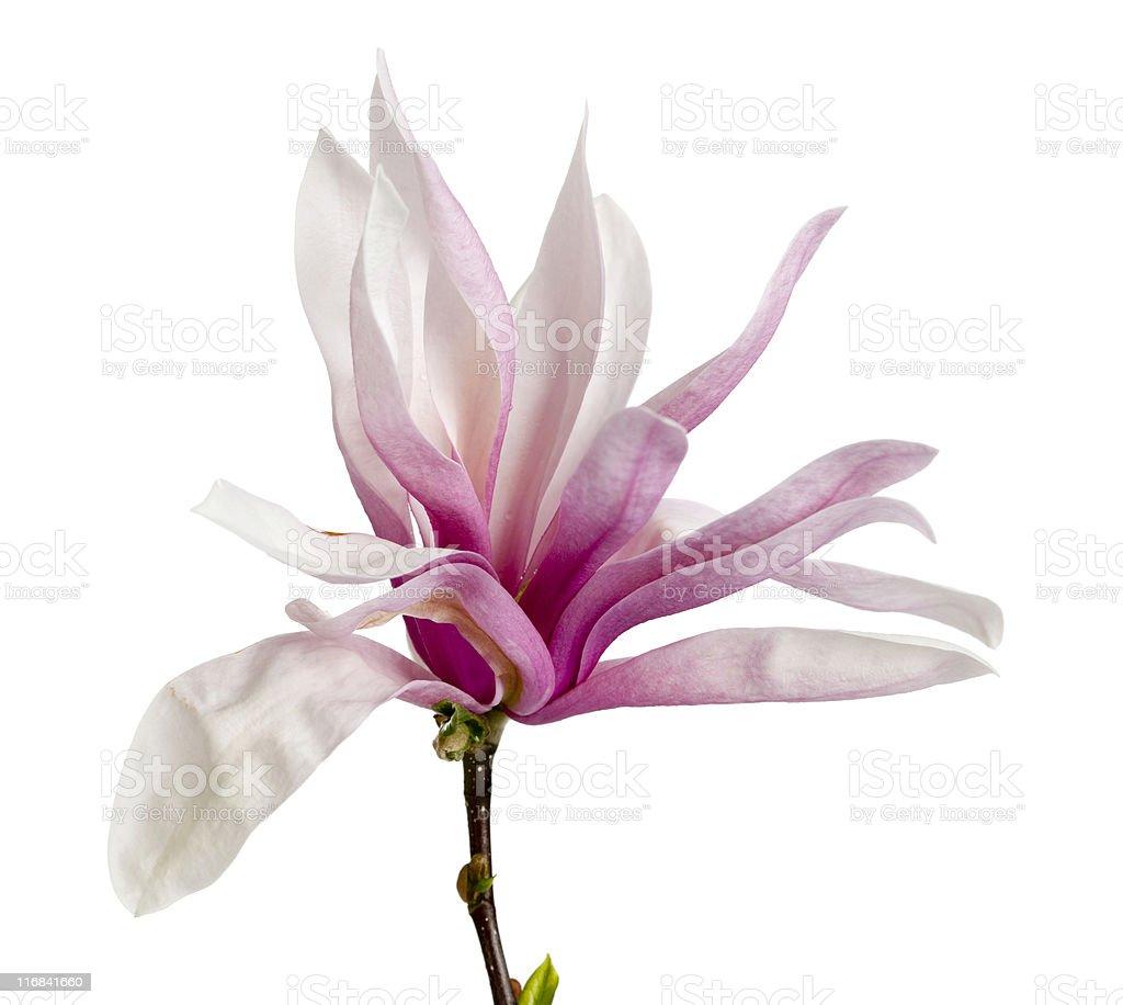 Pink magnolia on white royalty-free stock photo