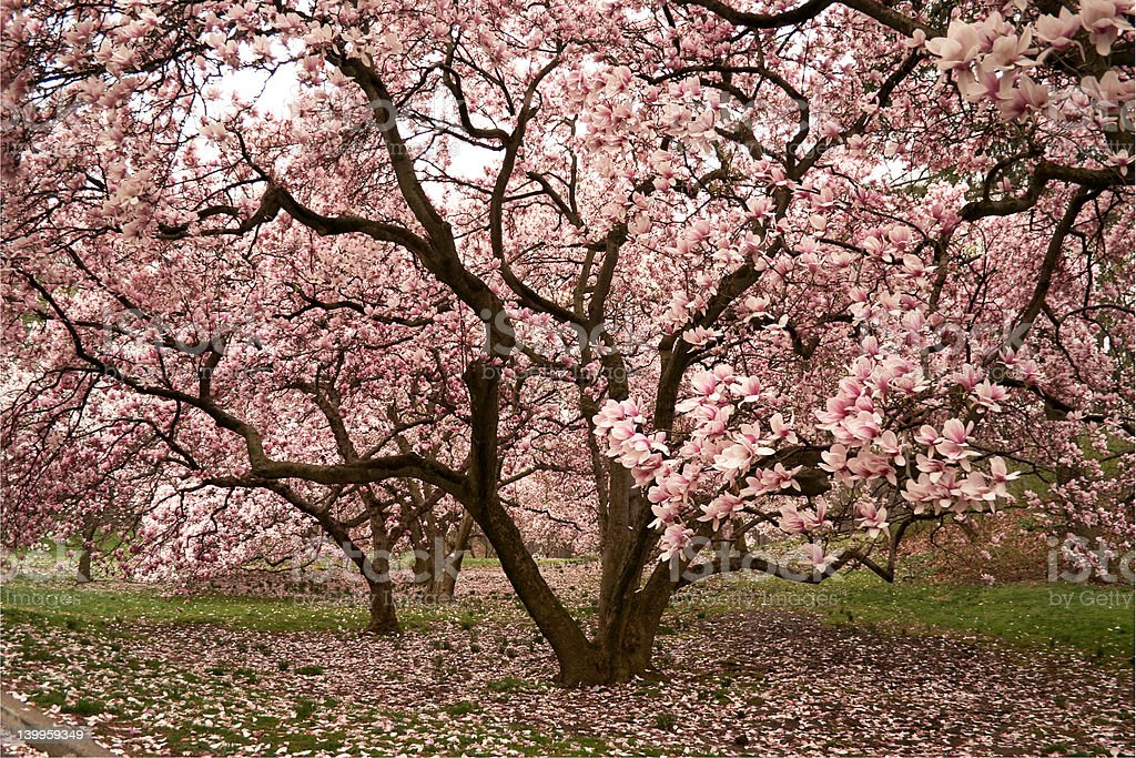 Pink magnolia royalty-free stock photo