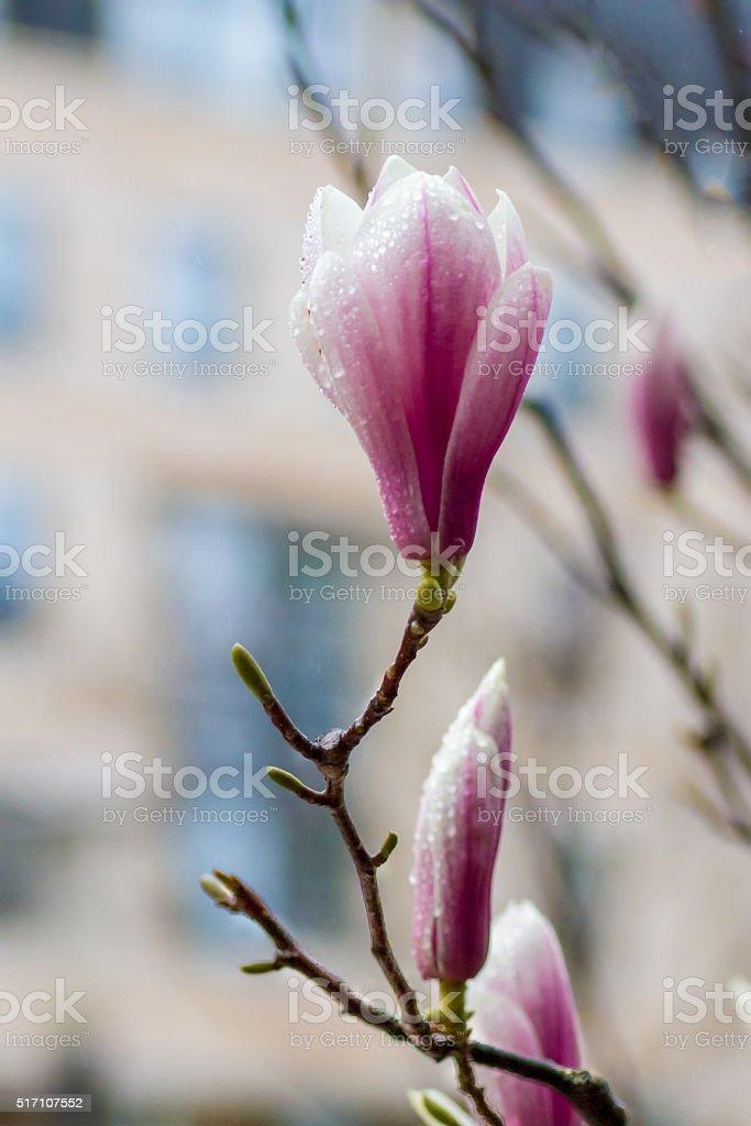 Pink magnolia. stock photo