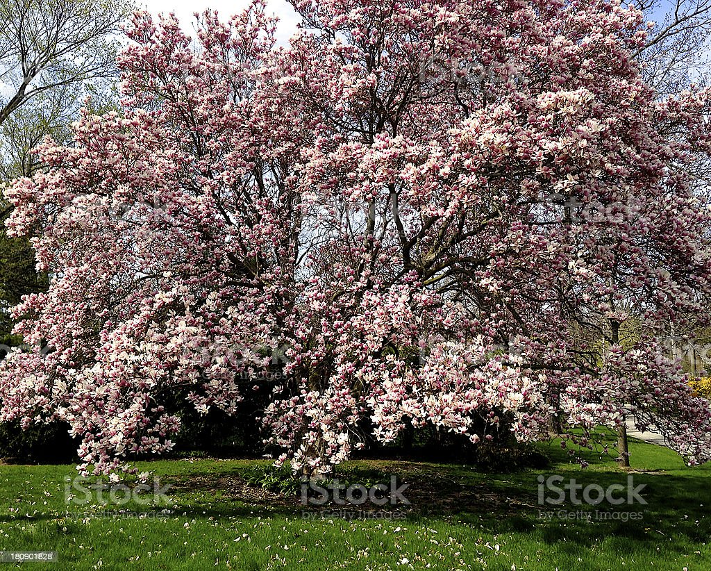 Pink Magnolia Tree in Full Bloom Spring royalty-free stock photo