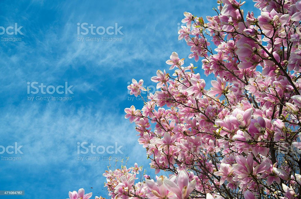 pink magnolia trees over blue sky stock photo